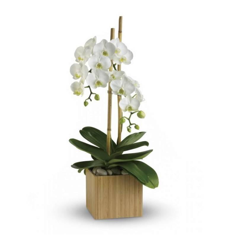 Белая орхидея в кашпо