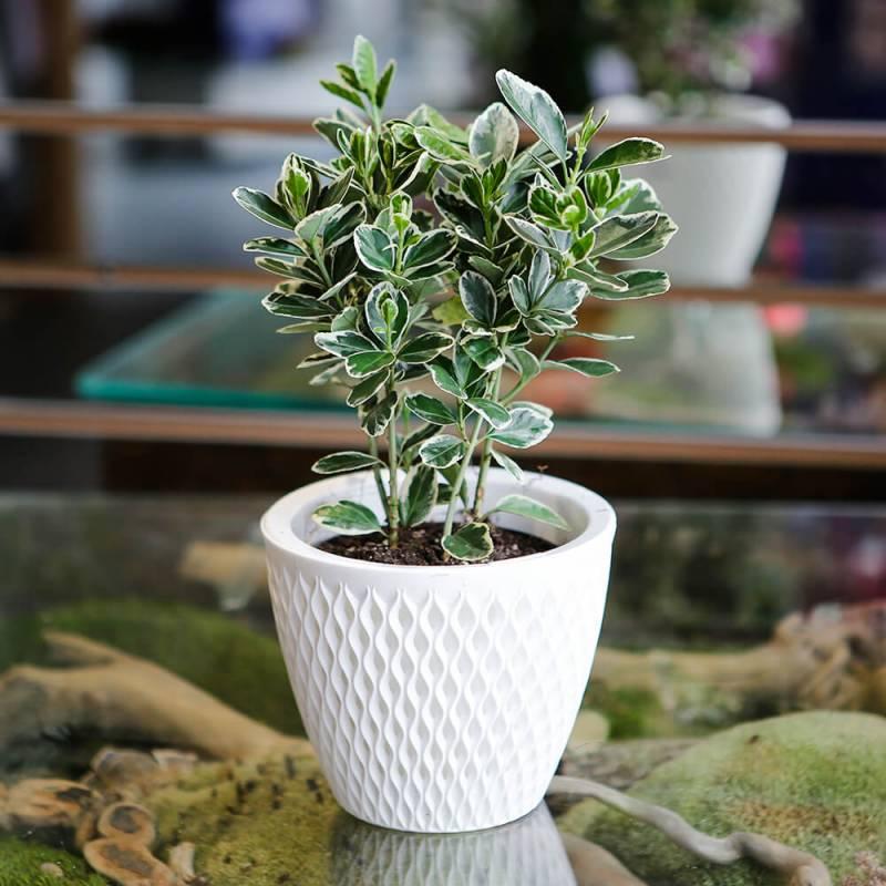 Комнатное растение Бересклет
