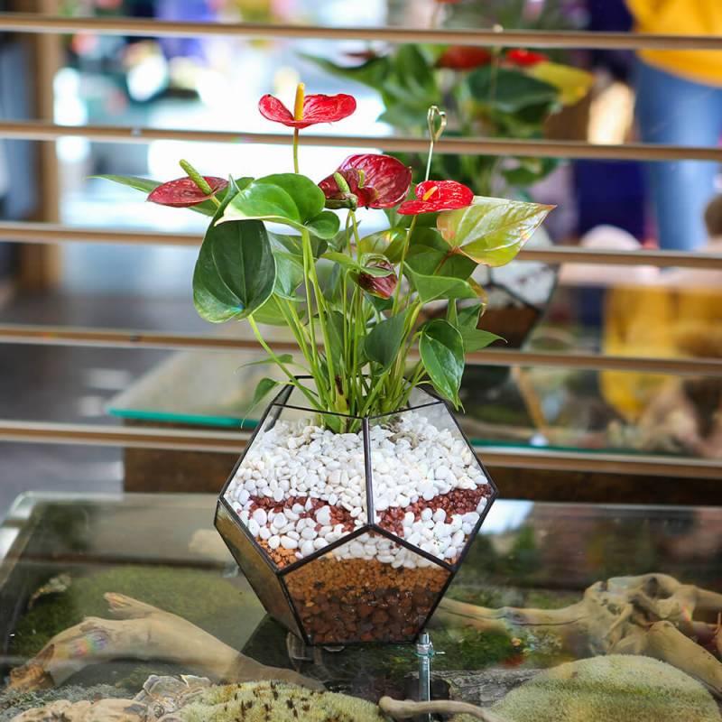 Флорариум Икосаэдр -Антуриум