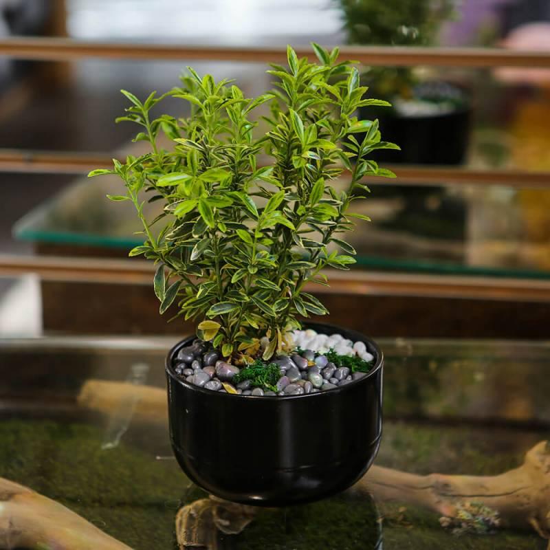Комнатное растение Бересклет в керамическом горшке