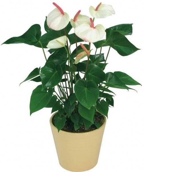 Горшечное растение «Антуриум (белый)»