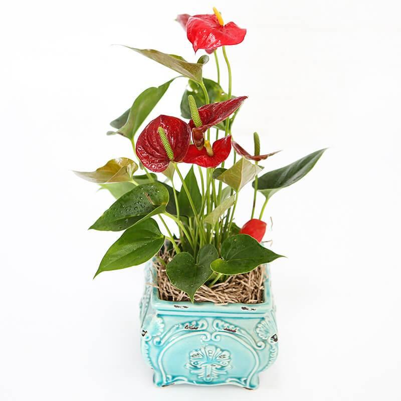 Горшечное растение «Антуриум (красный)»