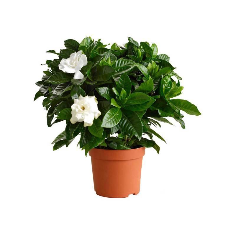 Горшечное растение «Гардения»