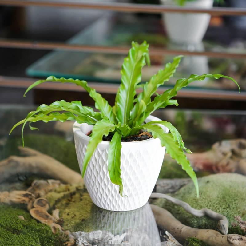 Комнатное растение Асплениум