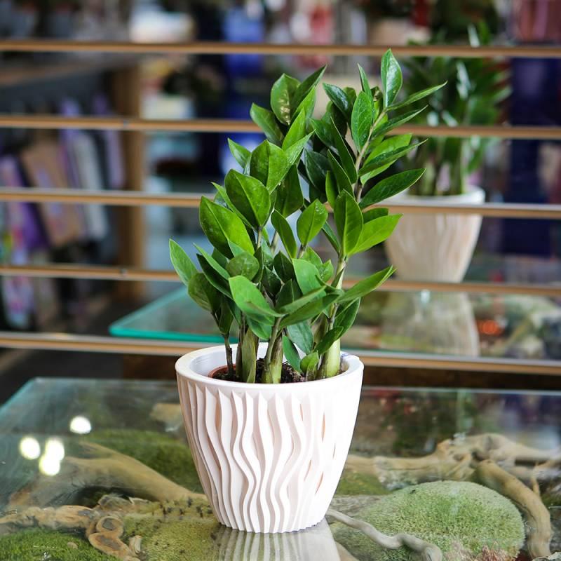 Комнатное растение Замиокулькас - Долларовое дерево