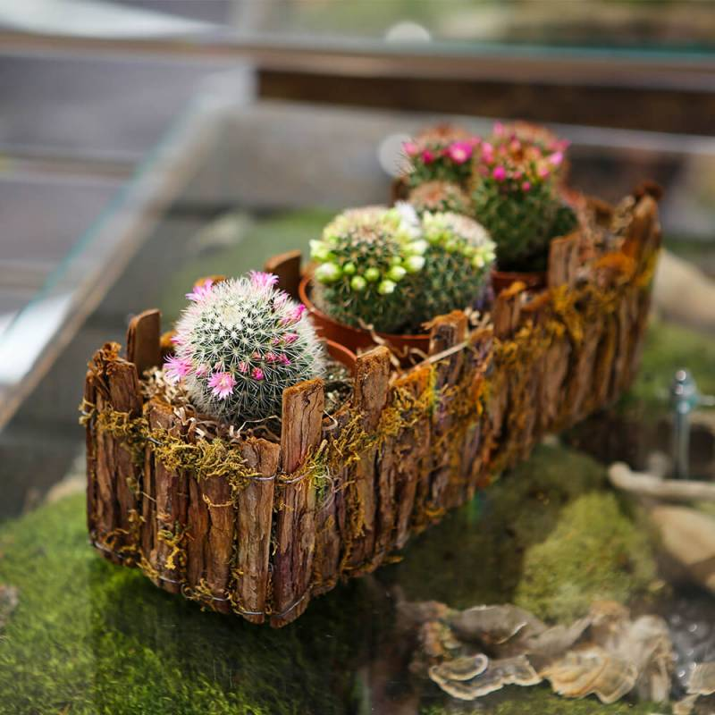 Композиция из цветущих кактусов Маммиллярия