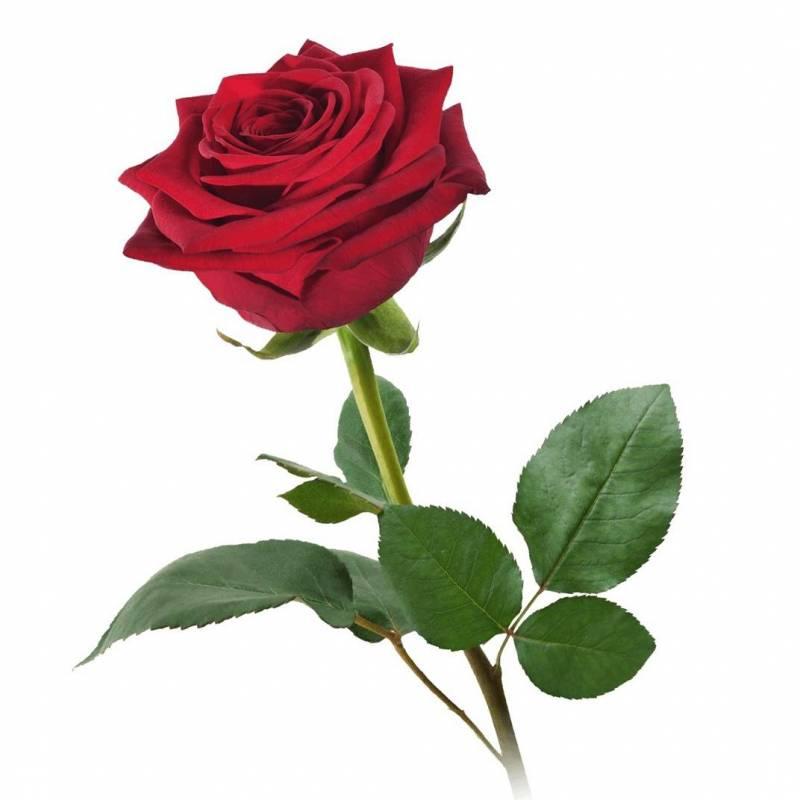 Красная роза Ред Науми. 80 см.