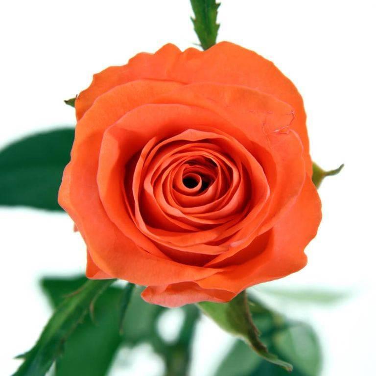 """Роза оранжевая """"Промеза"""" 70 см"""