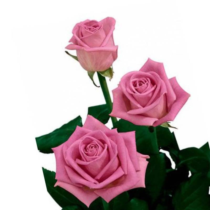 """Роза розовая """"Аква"""" 50 см."""