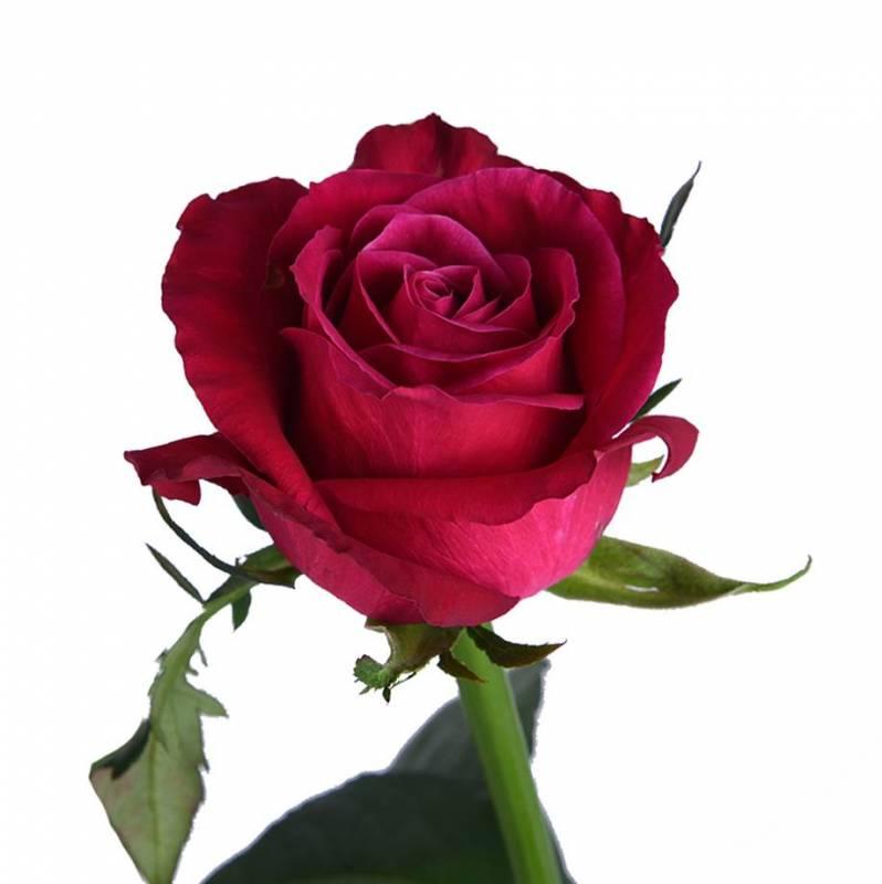 """Роза ярко розовая """"Шангри Ла"""" 60 см"""