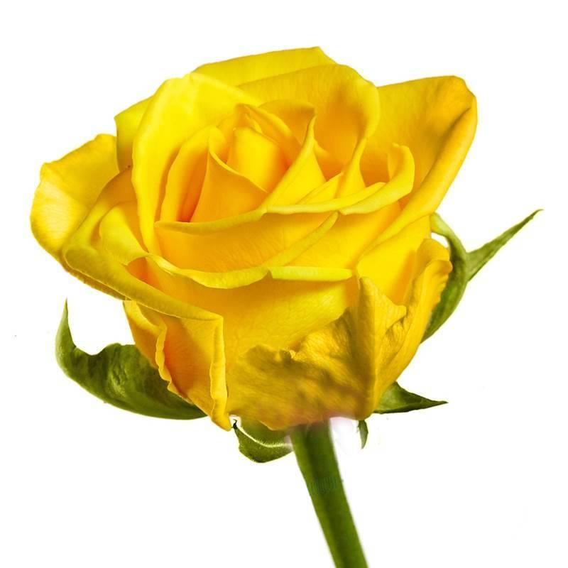"Роза жёлтая ""Пенни Лейн"" 60 см"