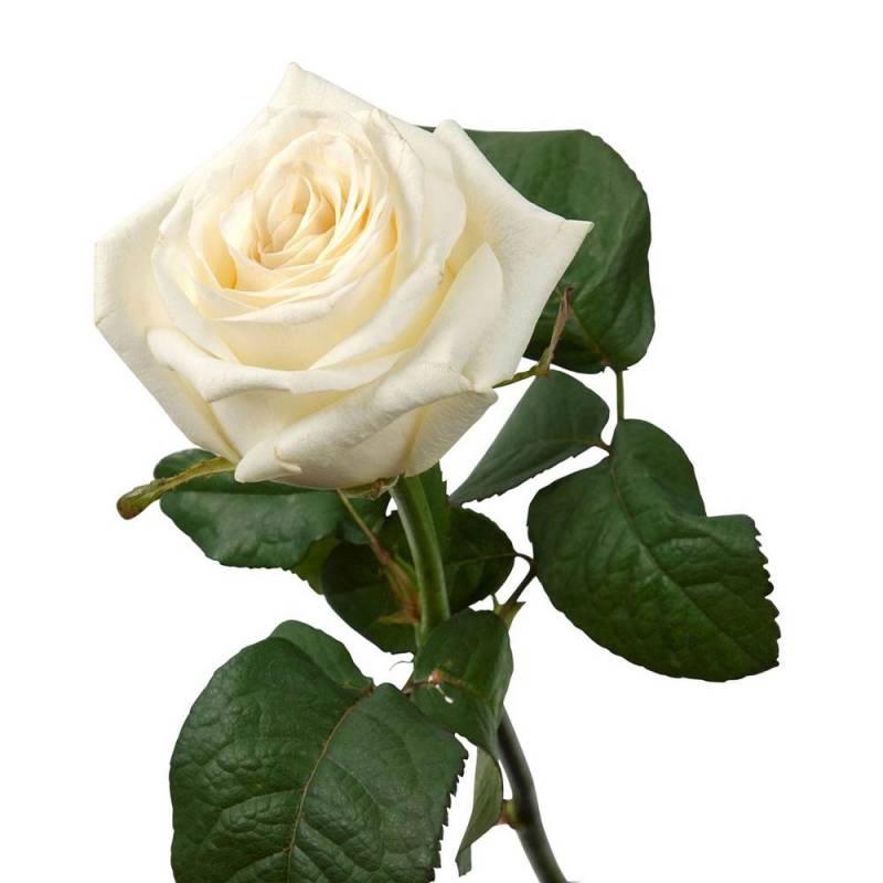 """Роза белая """"Аваланч"""" 80 см."""